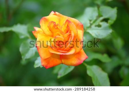 Yellow orange rose in the garden - stock photo