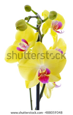 yellow orchid composition
