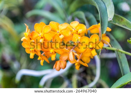 yellow orchid flower in garden,shallow focus