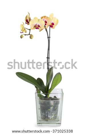 Yellow Orchid flower with glass pot isolated on white background. - stock photo