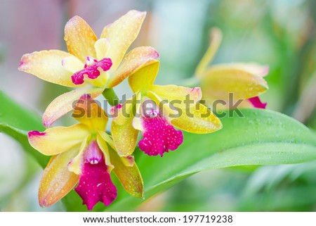 yellow orchid flower. yellow orchid with pink spots - stock photo