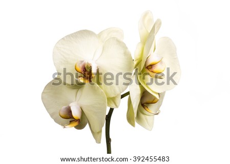 Yellow orchid flowers isolated on black background. Yellow Orchid.