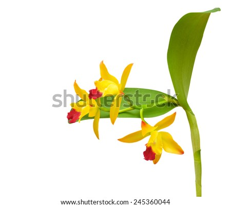Yellow Orchid isolate on white. - stock photo
