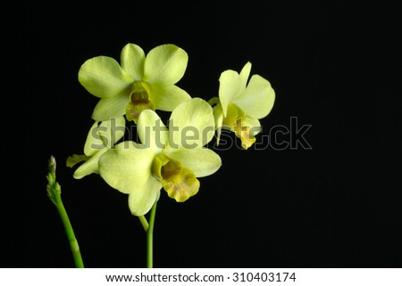 Yellow orchid on a black background - stock photo