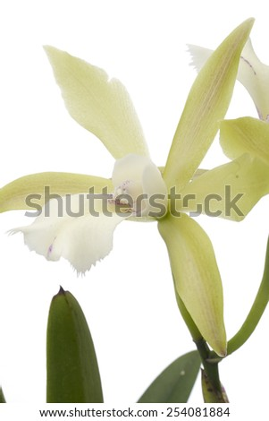 Yellow orchid on a white background.