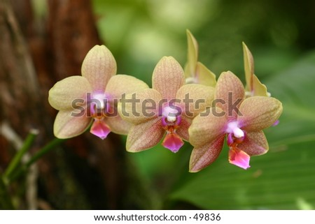 Yellow Orchid Row - stock photo