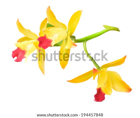 Yellow Orchids on white background with clipping path - stock photo