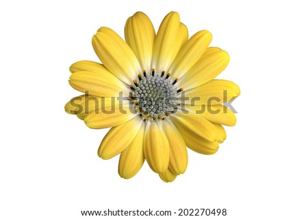 Yellow osteospermum isolated on white background  - stock photo