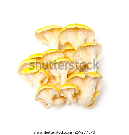 Yellow oyster mushrooms isolated on a white studio background. - stock photo