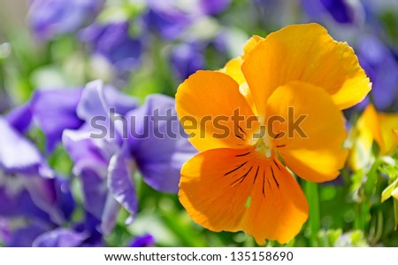 yellow pansy in a purple field