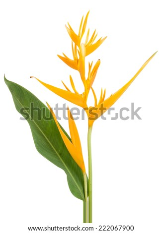 yellow parakeet flower heliconia psittacorum isolated on white background,  file includes a excellent clipping path - stock photo