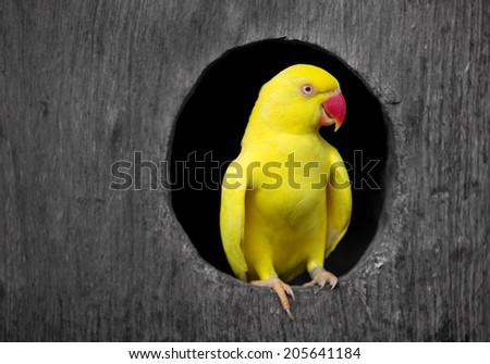 Yellow parrot. - stock photo