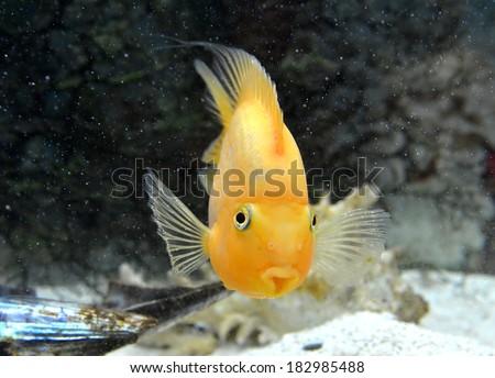Yellow Parrot Cichlid fish in aquarium - stock photo