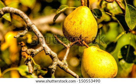 Yellow pears hanging on a tree. Close up with selective focus on two pears in the foreground. - stock photo