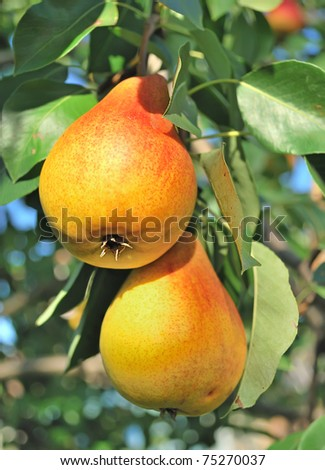 Yellow pears on the tree. - stock photo