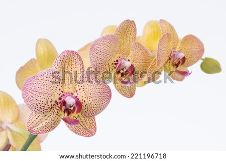 Yellow Phalaenopsis Orchids and bud close up - stock photo
