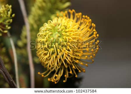 Yellow Pincushion Protea (Leucospermum) flower. African plant - stock photo