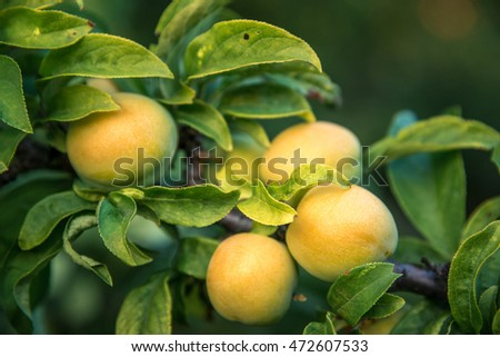 Yellow plum hanging on branch