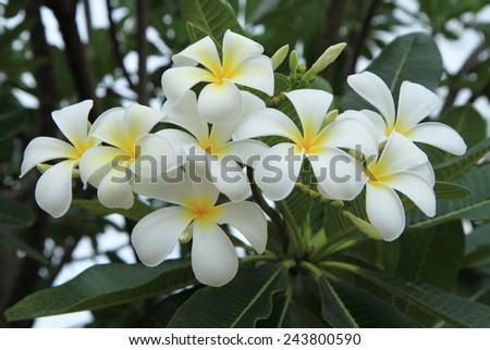 Yellow plumeria flowers - stock photo