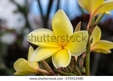 Yellow Plumeria tree flowers  - stock photo