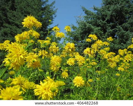 Yellow pointed petal flowers - stock photo