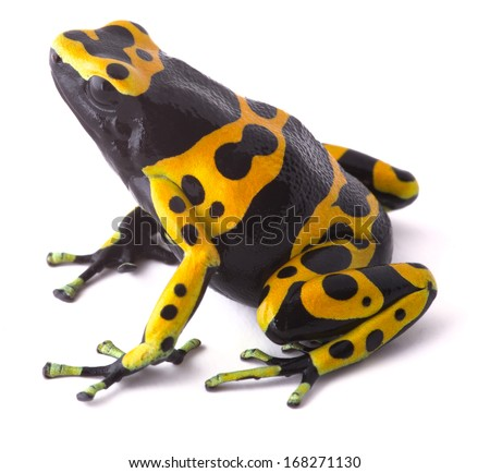Yellow poison dart frog dendrobates leucomelas. Beautiful tropical rain forest animal from the Amazon rainforest in Venezuela. A poisonous amphibian with black dots. Macro isolated on white - stock photo