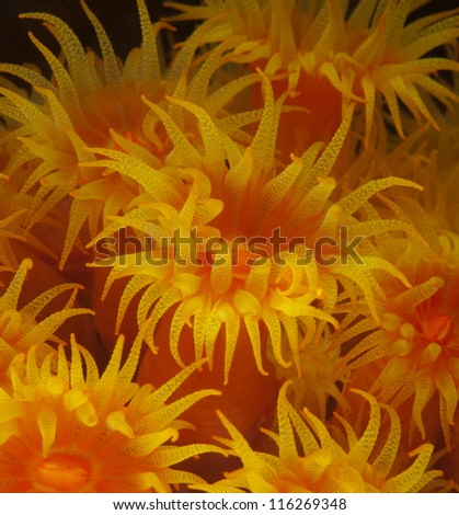 Yellow polyps, macro of Cup coral - stock photo