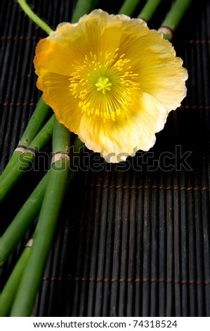 Yellow poppy flower and bamboo grove - stock photo