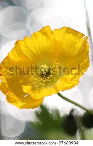 Yellow poppy flower, close up shot. - stock photo