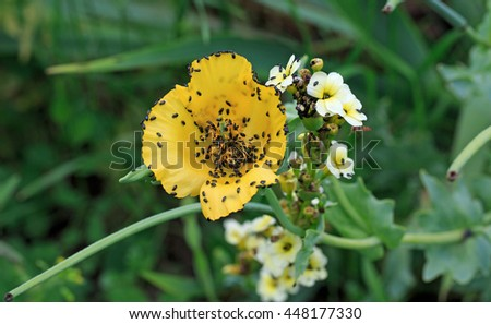 Yellow poppy type flower covered small stock photo edit now yellow poppy type flower covered in small black bugs pollen beetles mightylinksfo