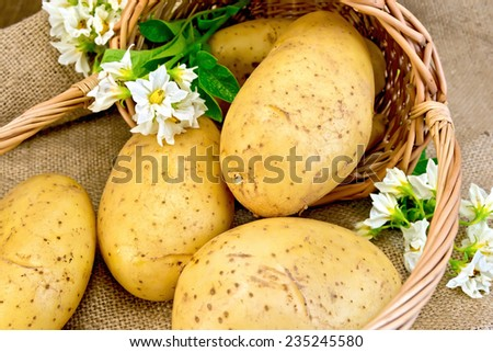 Yellow potato tubers, potato white flowers in a basket on burlap background on wooden board - stock photo