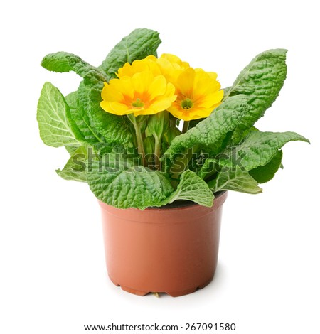 yellow primrose isolated on white - stock photo
