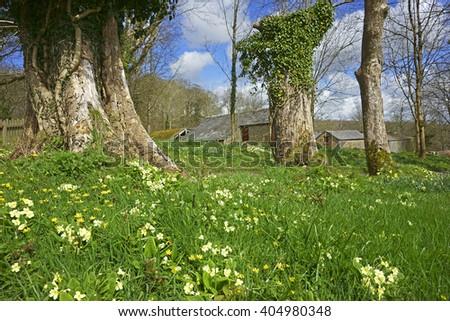 Yellow Primrose, Primula vulgaris, growing wild in Lanhydrock woodland on a beautiful Spring day, Cornwall, England, UK - stock photo