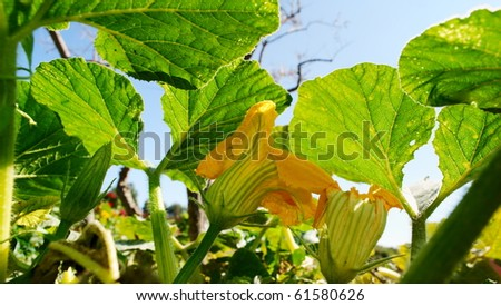 Yellow pumpkin flowers and leaves viewed from below