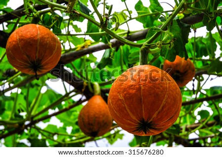 Yellow pumpkin hanging on the tree. - stock photo