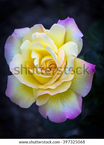 Yellow purple rose on dark background - stock photo