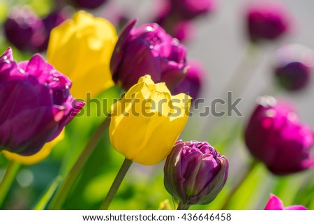 Yellow, purple tulips macro closeup background. Spring sunny day contrast, vivid, vibrant, saturated, colorful tulips photo. Tulips blossom,, bloom in april, may springtime. Tulips flowerbed closeup - stock photo