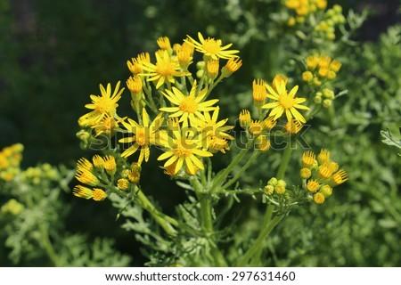 Plants Profile for Senecio (ragwort)