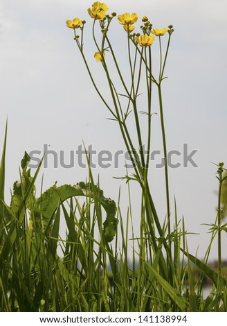 yellow ranunculus along the side of the water - stock photo
