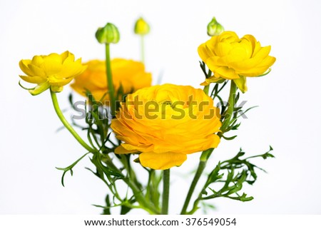 ranunculus yellow stock photos, royalty-free images & vectors