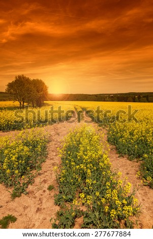 Yellow rape field at the sunset - stock photo