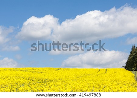 Yellow rape field, Brassica napus, also known as rapaseed, rapeseed, canola or colza, under a cloudy blue sky grown as livestock feed, for its oil and as a biofuel - stock photo