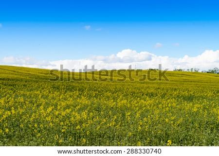 Yellow  rape fields in Belarus - stock photo