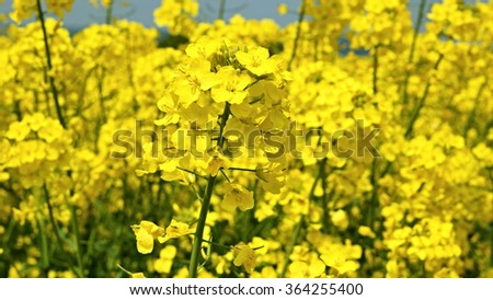 Yellow rape seed flowers in field with blue sky  - stock photo
