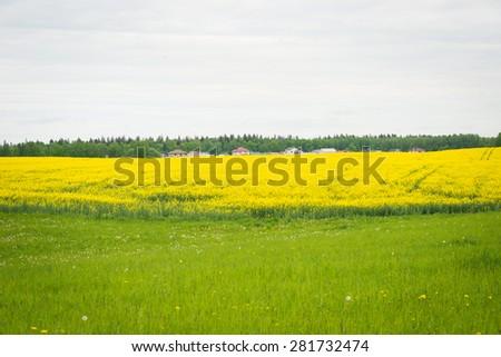 Yellow rapes flowers field - stock photo