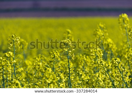 Yellow rapeseed field producing vegetable oil - stock photo