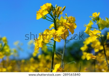 Yellow rapeseed flowers on field with blue sky - stock photo