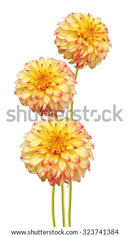 Yellow red and colored Dahlia flower isolated on white background. Macro. Symbol of Elegance, Dignity and Good Taste. - stock photo