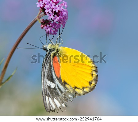 Yellow red butterfly (Painted Jezebel) on small purple flower with blue sky background - stock photo