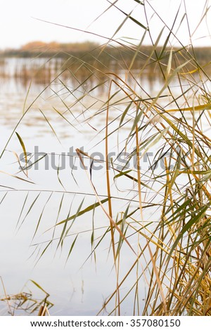 yellow reeds at the lake in nature in autumn - stock photo
